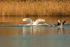 Hunted. A white swan hunting a wild goose Stock Image