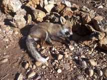 Hunted Fox dead by gun shot. Close up view of a Hunted Fox dead by gun shot Stock Photo