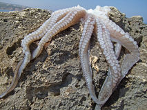Hunted fresh octopus on the rock Royalty Free Stock Images