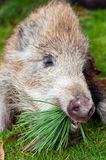 Hunted Wild Boar. On the ground, vertical shot Royalty Free Stock Photos