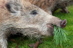 Hunted Wild Boars Stock Photo