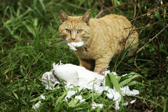 Hunter. Cat with his prey white pigeon Stock Photos
