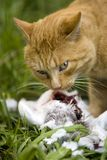 Hunter 2. Hunter cat watching you and protecting with his prey white pigeon Royalty Free Stock Images