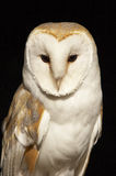 Hunter. This beautiful Barn Owl was captured at a Raptor centre in Hampshire, UK Royalty Free Stock Photography