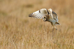 The hunter. Short-eared owl, hunting the long grass Royalty Free Stock Photo
