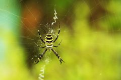 The hunter. A spider spining a network Stock Image