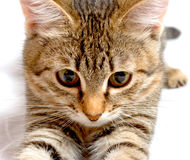 Hunter. Striped kitten plays on a white background Stock Photos