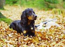 Hunter. Still life with hunting dog Royalty Free Stock Photos