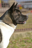 Hunter - American Akita royalty free stock photos