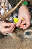 Hunter applying a deer hunting quota tag. To a white tail stag carcass to show that his hunt was legal and to facilitate transporting the body Royalty Free Stock Photo