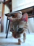 Hunter Cat Royalty-vrije Stock Afbeeldingen