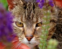 The Hunter. Cat on the prowl for food with a salient attack Royalty Free Stock Photo