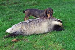 Hunter.Dachshund with a badger. Successful hunter with a badger .European badges,Meles meles Stock Photography