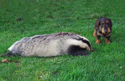 Hunter.Dachshund with a badger. Royalty Free Stock Photography