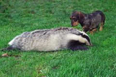 Hunter.Dachshund with a badger. Royalty Free Stock Image