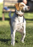 Hunter dog. Hunt with the white dog Royalty Free Stock Photos