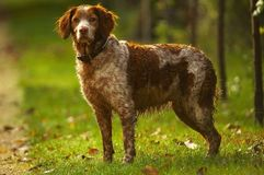 Hunter dog. An spaniel, a hunter dog Stock Photos