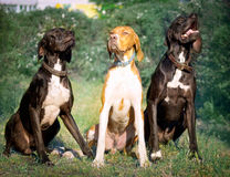 Hunter dog-English pointer stock image