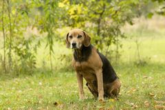 Hunter dog in the garden. Dog in the garden with autumn leaves aeound Stock Photo