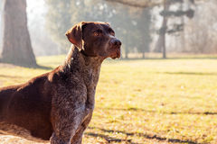 Hunter dog. German shorthaired pointer - Hunter dog Stock Photos