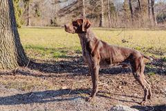Hunter dog Stock Photos