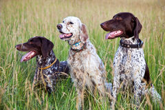 Hunter dogs Stock Photography