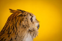 Hunter eagle owl in a sample of birds of prey, medieval fair Royalty Free Stock Photography