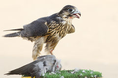 Hunter Falcon Royalty Free Stock Photos