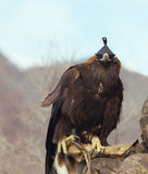 Hunter with a golden eagle Royalty Free Stock Images