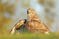 Hunter in the grass. Birds of pray Common Buzzard, Buteo buteo, sitting in the grass with blurred green forest in background. Comm. Hunter in the grass. Birds of Stock Photography