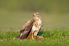 Hunter in the grass. Birds of pray Common Buzzard, Buteo buteo, sitting in the grass with blurred green forest in background. Comm. Hunter in the grass. Birds of Royalty Free Stock Images