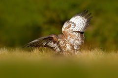Hunter in the grass. Birds of pray Common Buzzard, Buteo buteo, sitting in the grass with blurred green forest in background. Comm Stock Image