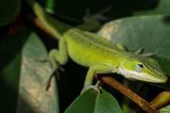 Carolina Anole lizard in rhododendron royalty free stock photography