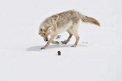 Hunter & Hunted. Coyote stalks a gopher that he's just dug out from under the snow stock photos