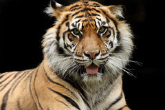 The Hunter & Hunted. Sumatran Tiger glaring at the viewer Stock Photo