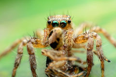 Hunter/Hunted Jumping spider. Hunter Hunted animal bug close up cote eight eye jumping spider leg macro spider stock photos