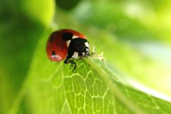 Hunter and the hunted. Ladybird devouring an aphid stock images