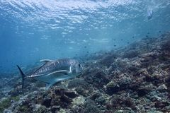 Hunter Hunted. A large trevally eyes a swimmer Stock Photography