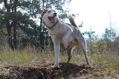 Hunter - Huskies dug a hole in the woods Royalty Free Stock Photo