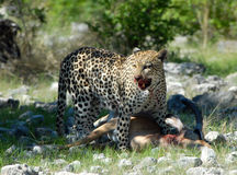 Hunter Leopard. A leopard feasting on an Impala Royalty Free Stock Images