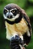 Hunter owl Royalty Free Stock Image