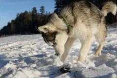 Hunter - plays a young Husky Stock Image
