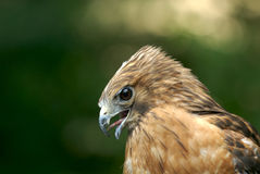 Hunter's face. Red shouldered hawk stock photo