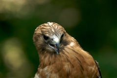 Hunter's face II. Red shouldered hawk royalty free stock image