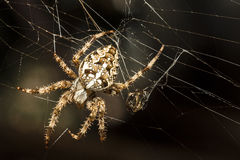 The hunter spider Royalty Free Stock Photo