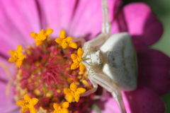 A hunter. Spider on a flower waiting for prey Royalty Free Stock Photos