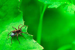 Hunter spider looking for his prey Royalty Free Stock Photography