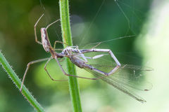 Hunter spider Royalty Free Stock Photography