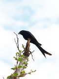 Hunter Swallow. Black swallow holding bee in his beak Royalty Free Stock Image