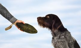 Hunter takes the soft dummy from the dog. The hand of the hunter takes the canvas bumper from the hunting dog royalty free stock image